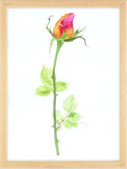 Kırmızı Gül / Red Rose